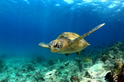 green sea turtle, sea life, wildlife, ocean,