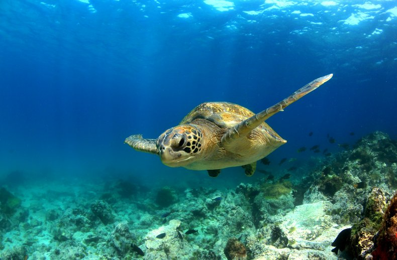 green sea turtle, sea life, wildlife, ocean,