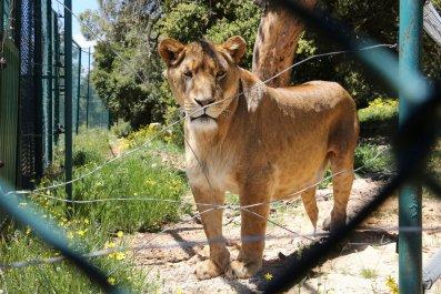 Lion in captivity
