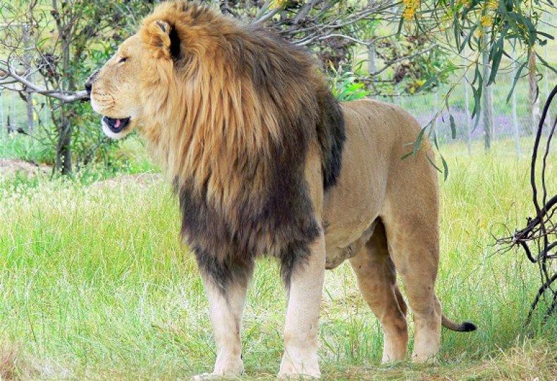 lion Drakenstein Lion Park