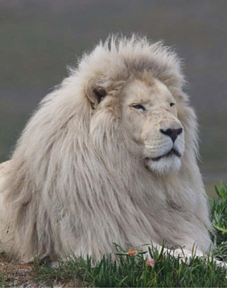 White lion Panthera Africa