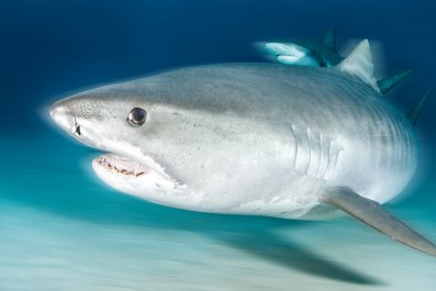 tiger shark, shark, ocean, wildlife, stock, getty,