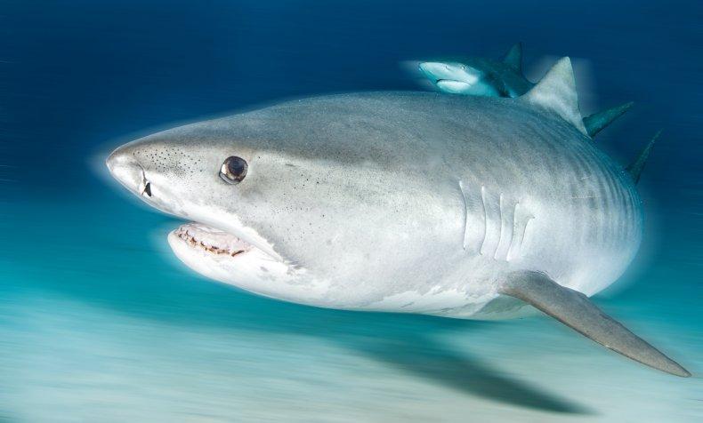 tiger shark, shark, ocean, wildlife, stock, getty,