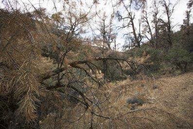 forest mortality, Frazier Park, California