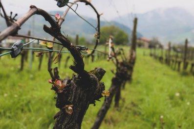vineyard Spain