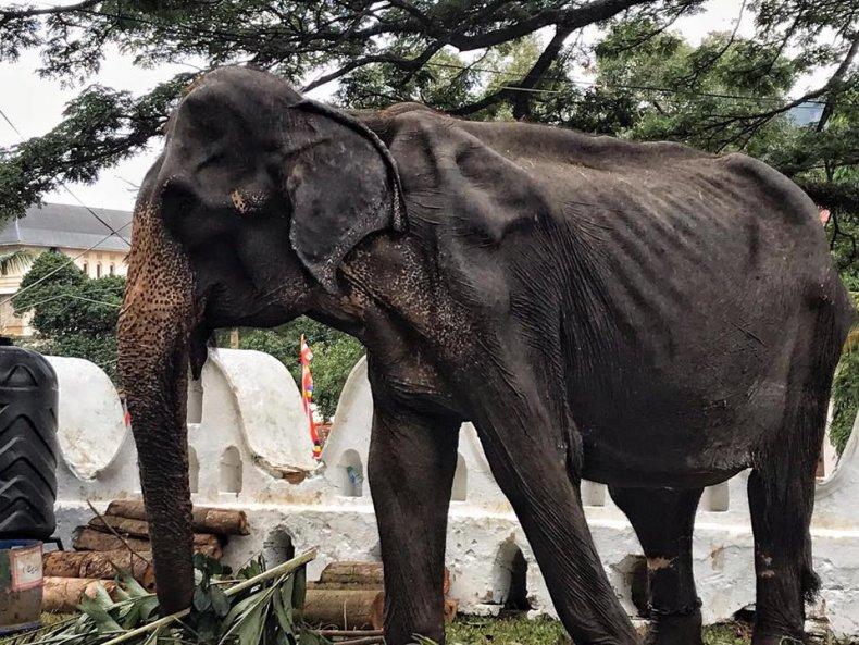 Tikiiri, elephant