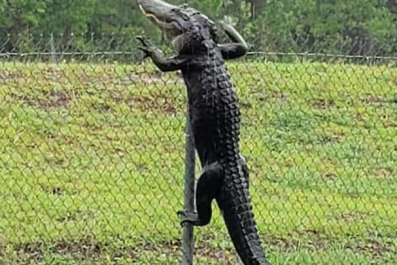 Alligator Climbs Fence