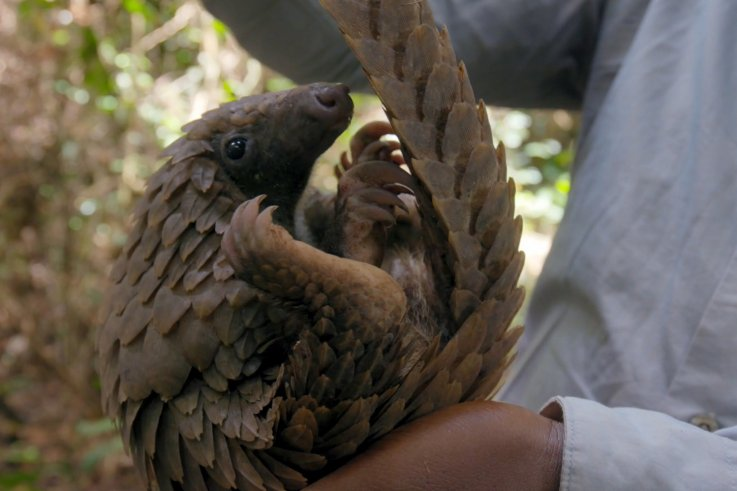 Eye of the Pangolin: The Documentary Trying to Save the Most Trafficked Mammals in the World