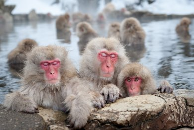 macaques snow monkeys