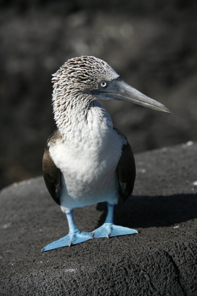 Blue Footed Boobie Galapagos
