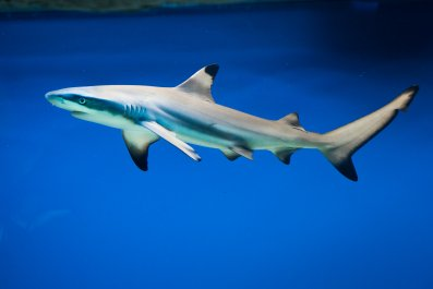 Carcharhinus melanopterus, shark, blacktip reef, stock, getty