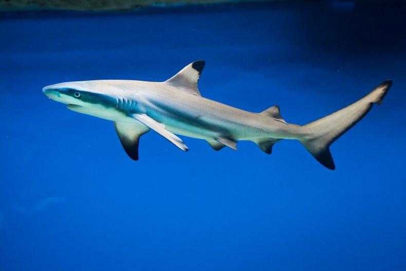 Carcharhinus melanopterus, shark, blacktip reef, stock, getty