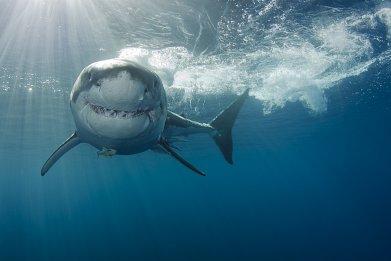 shark surfers