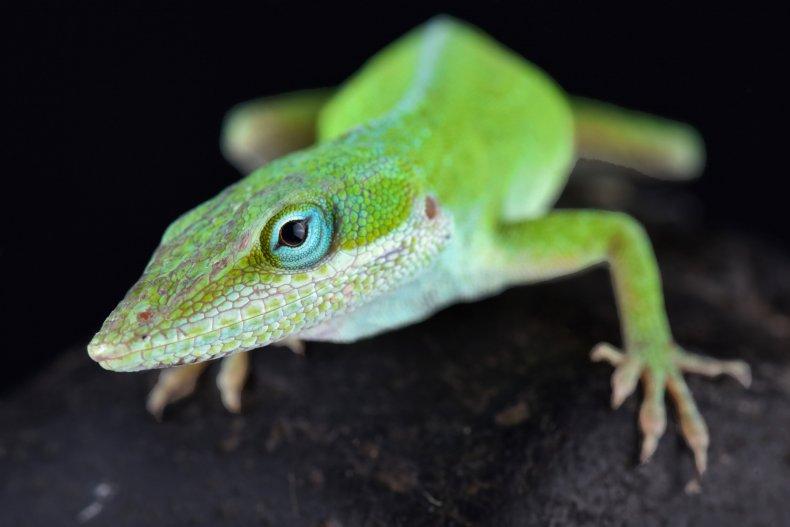 anole lizard, carolina anole, reptile, stock, getty,