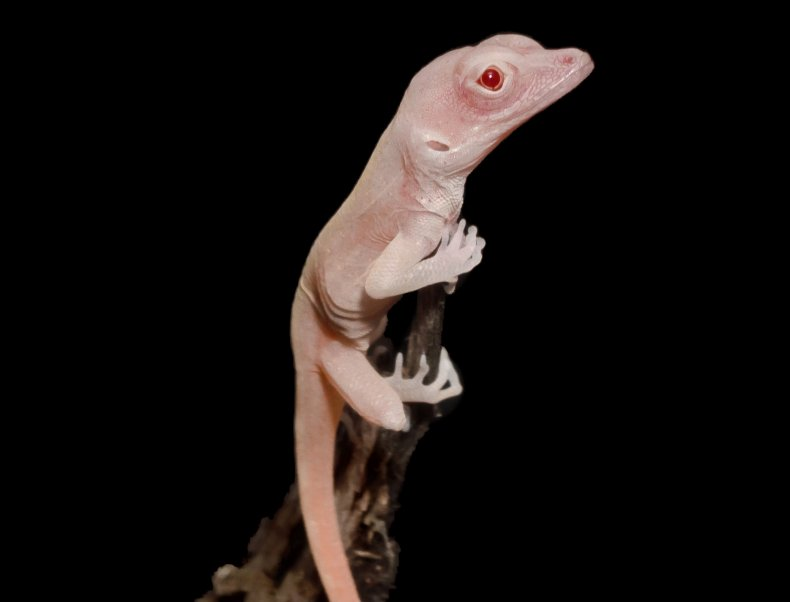 albino lizard hatchling, Cell Reports,