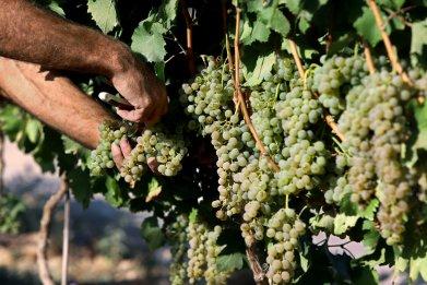 Picking wine grapes