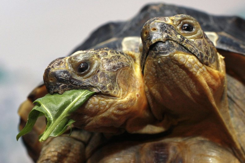 janus tortoise