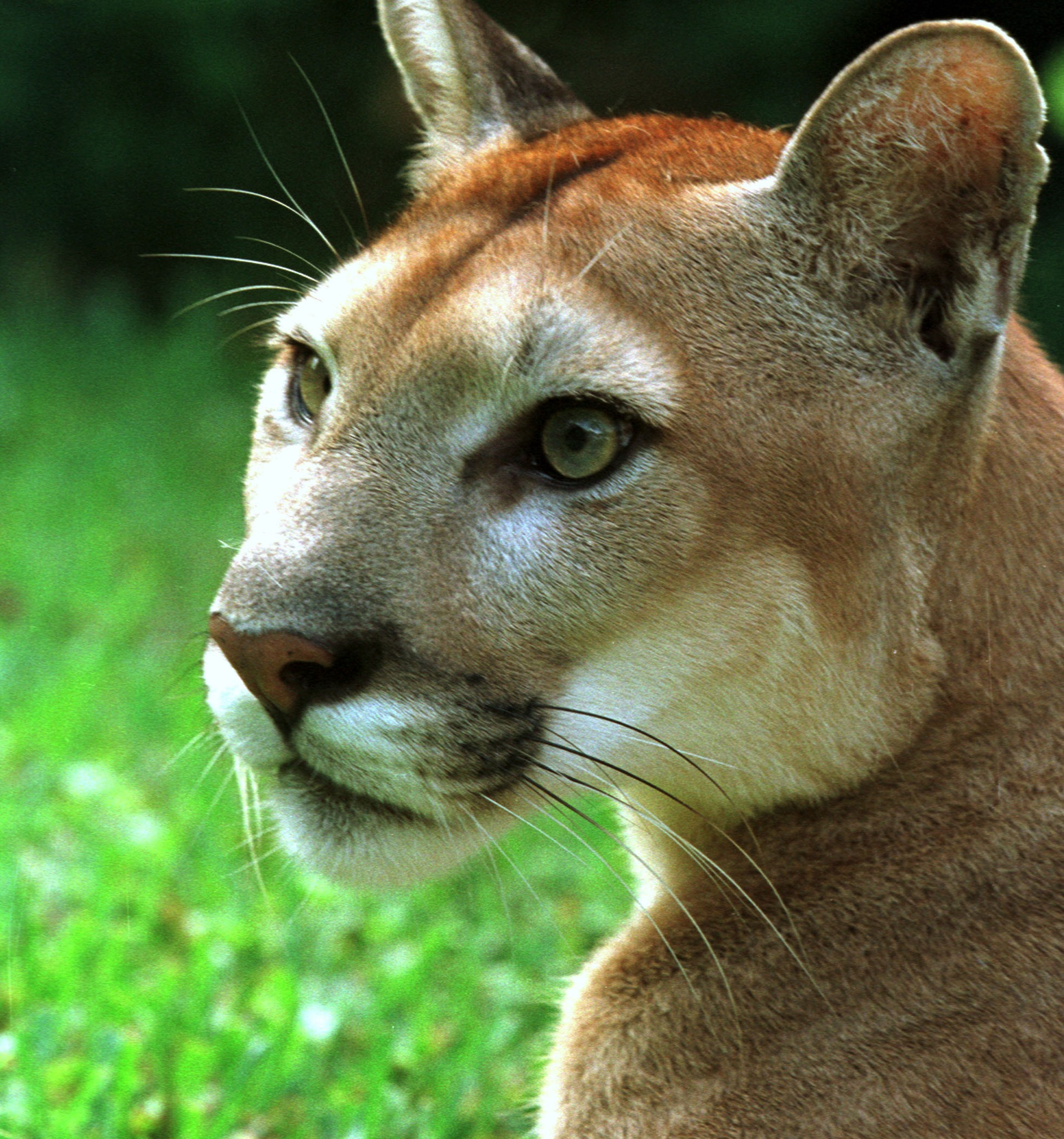 Mountain Lion Bites Head of 8-year-old Boy, Child Fights Off