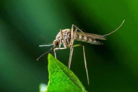 mosquito, malaria, insect, disease, stock, getty,