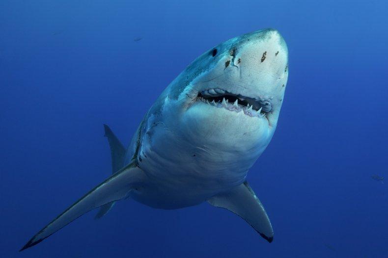 great white shark, sea, wildlife, predator, stock,getty