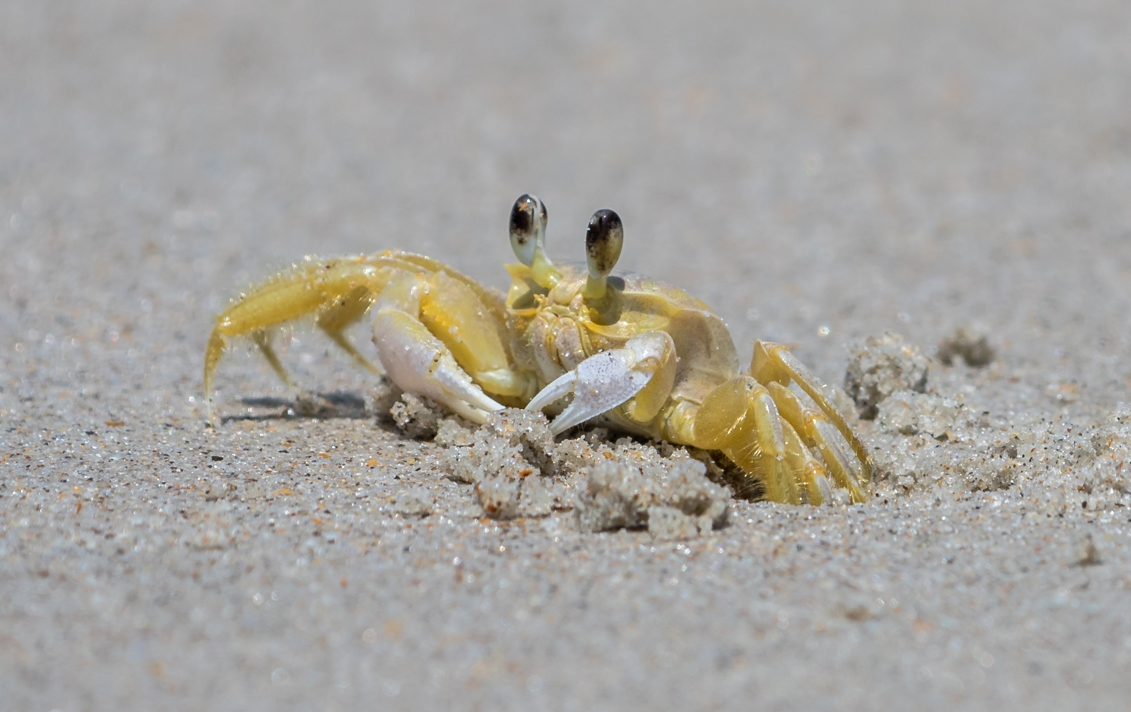 Ghost crabs have stomach teeth that they use to growl at each other