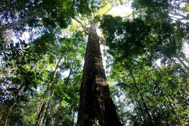 amazon tallest tree