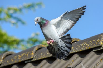 Pigeon in flight over a roof