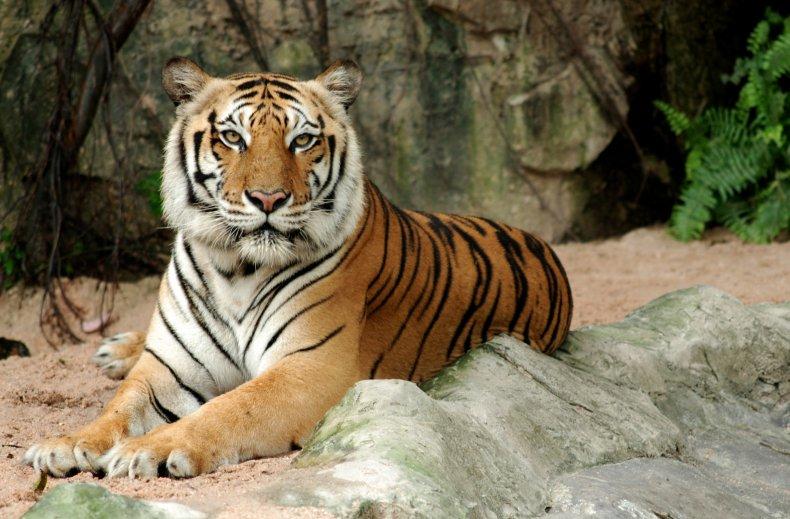 stock image tiger thailand