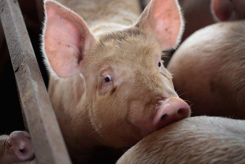 pig-farm-in-iowa