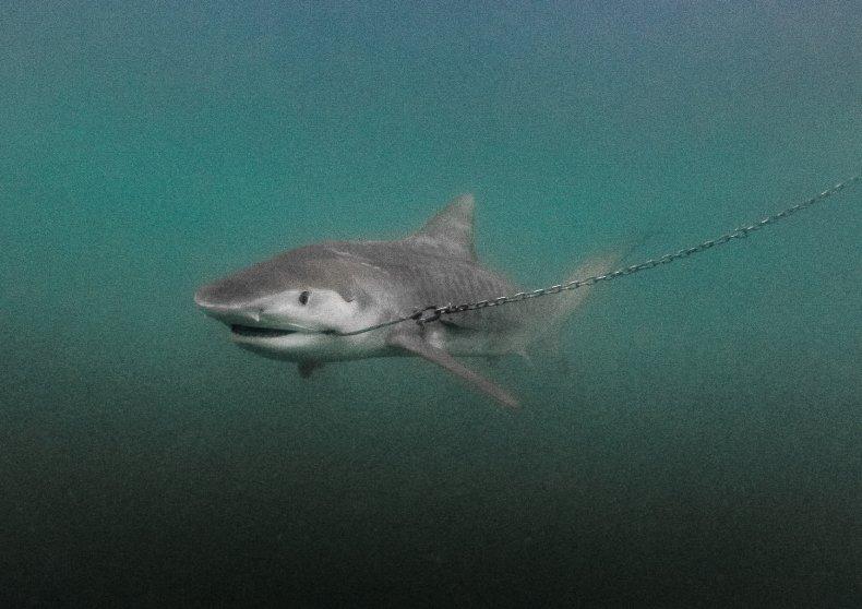 shark drum line