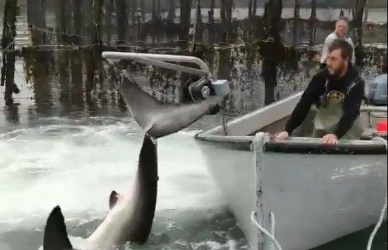 Fishing crew frees great white shark
