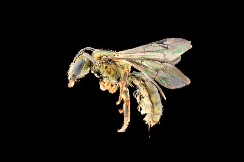 Homalictus terminalis, new bee species