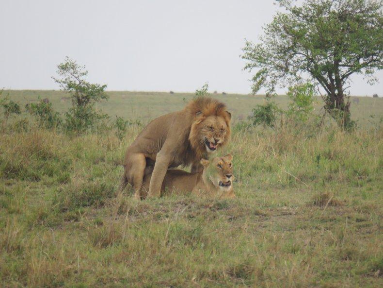lions safari kenya