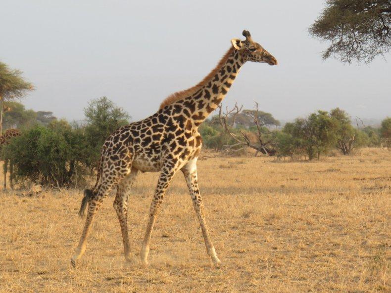 kenya safari giraffe