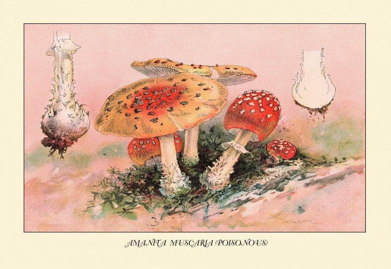 amanita-muscaria-illustration