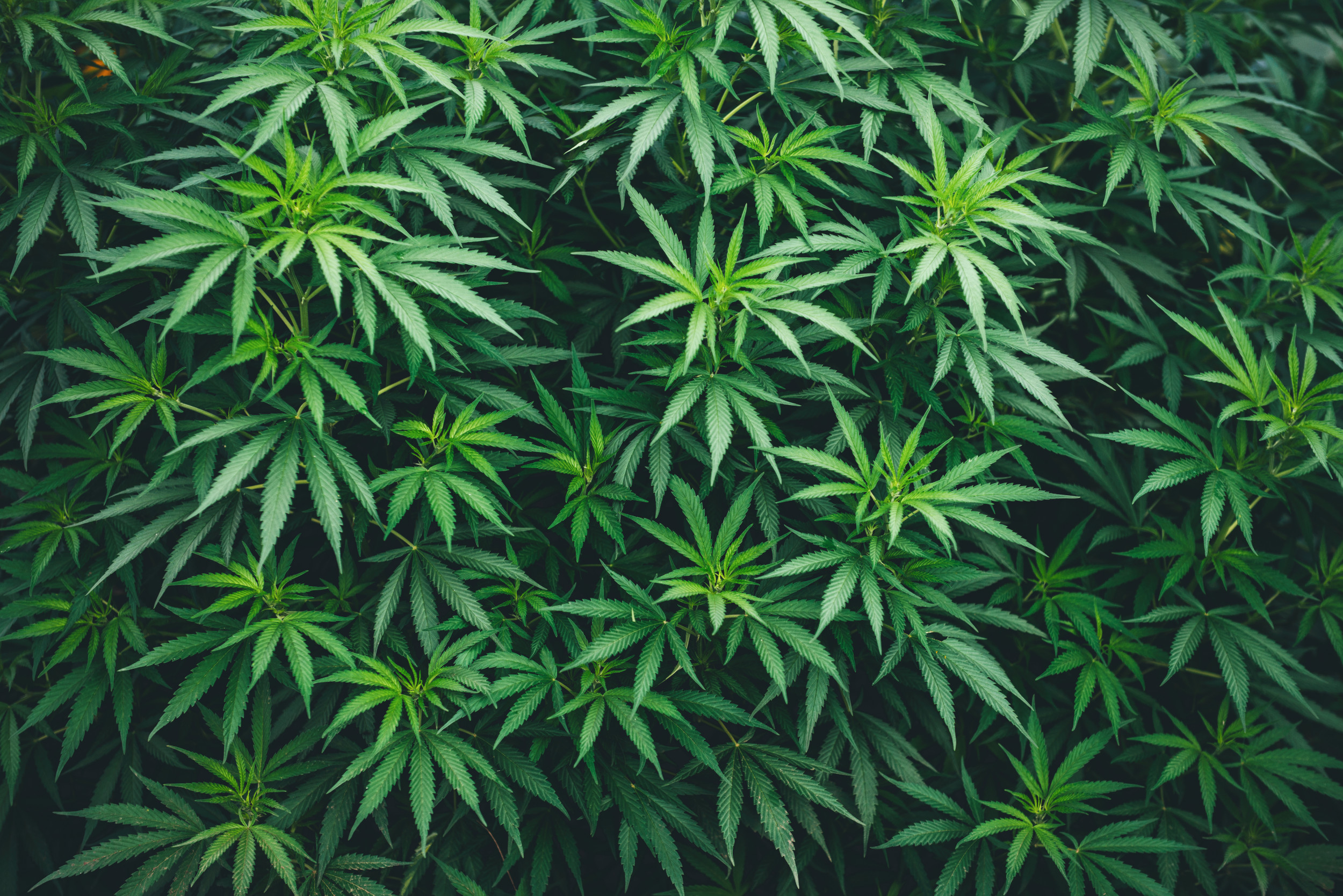 Man Caught Driving With 1000 Marijuana Plants In His Van Told