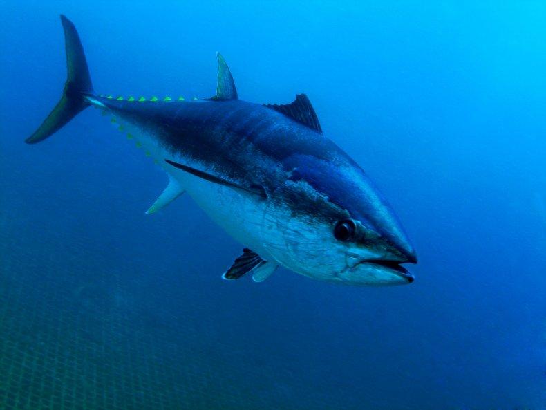 bluefin tuna, fish, ocean, sea, getty, stock