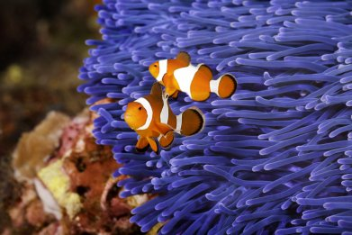 clown fish, nemo, ocellaris, ocean, stock, getty,