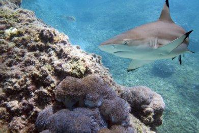 Shark (Stock)