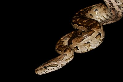 Southern African rock python