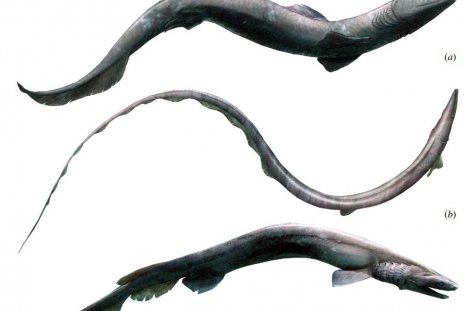 Phoebodus shark