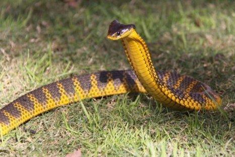 File photo: Tiger snake