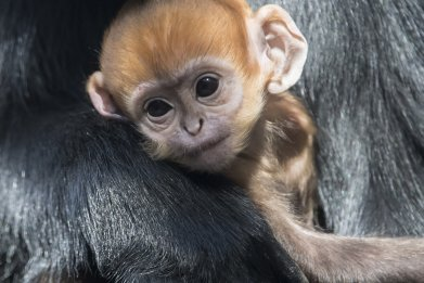 François' Langur monkey