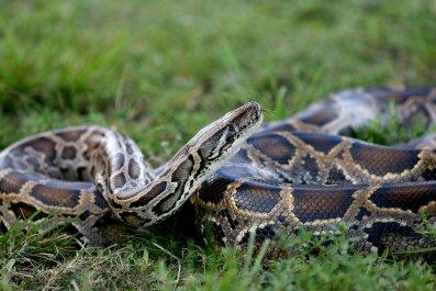 Burmese python, snake, captured, Florida, invasive, species
