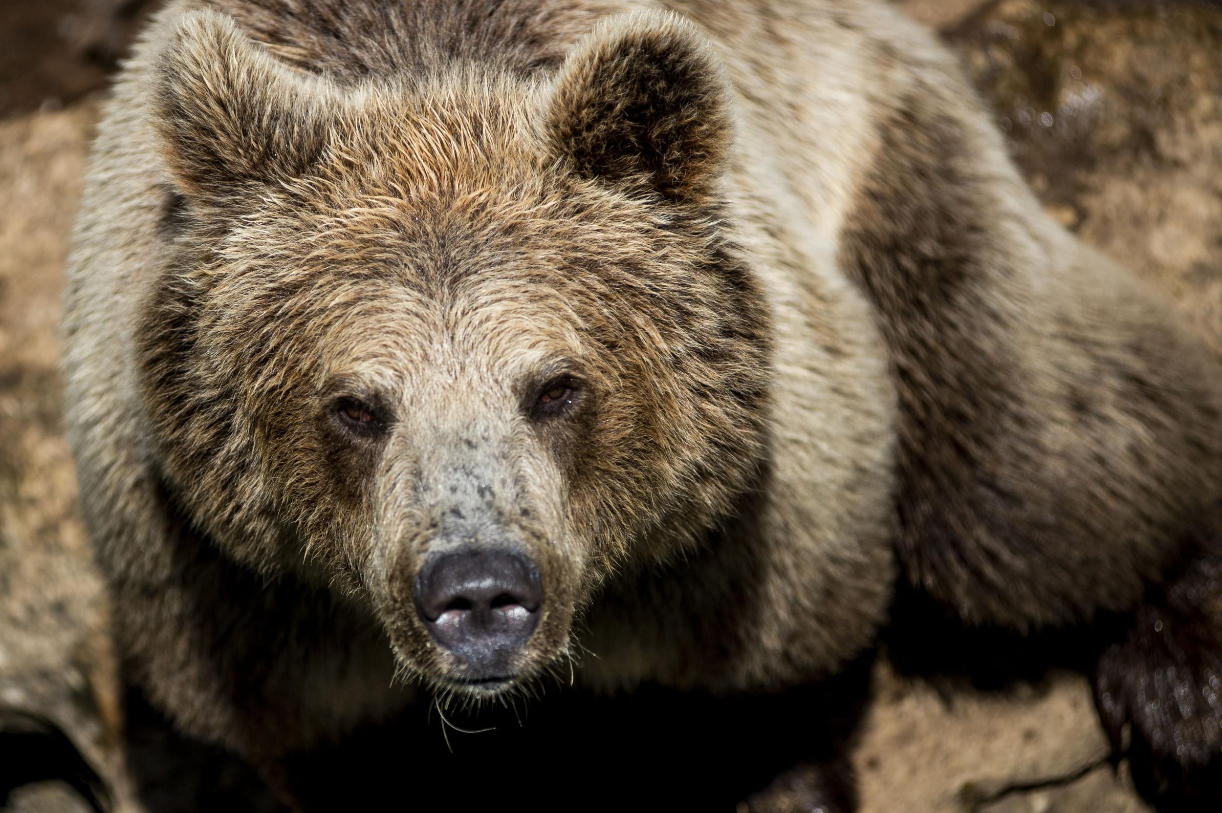 Grizzly Bear forum Ellen downtown Bozeman - March 2, 2019