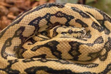 File photo: Eyes of the boa snake