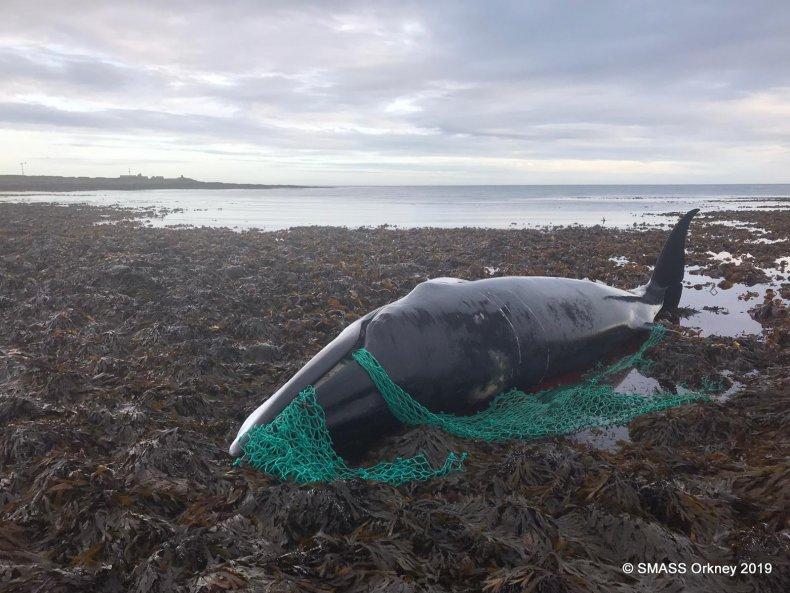 Minke Whale Stranded