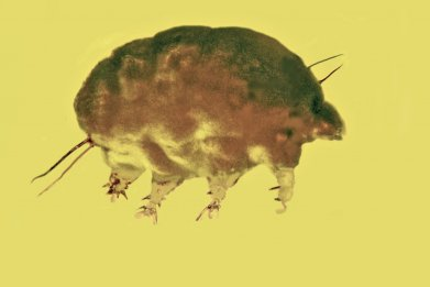 Mold pig, Sialomorpha dominicana