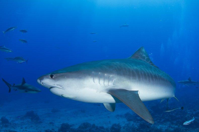 Tiger shark - Stock