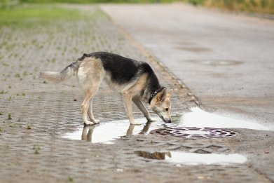 dog, puddle, standing water, leptospirosis